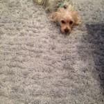 Lynnwood-Dog-carpet-clean